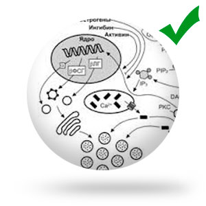 Стимулирует секрецию желез пищеварительного тракта, желче и мочевыделение