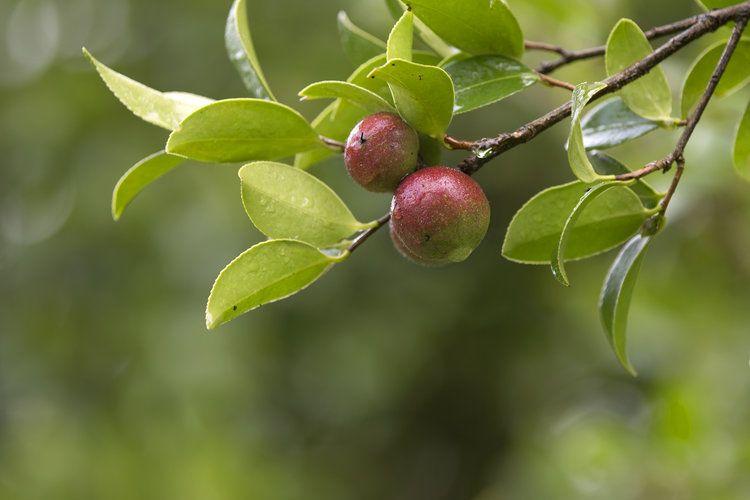 Цветение чайного дерева