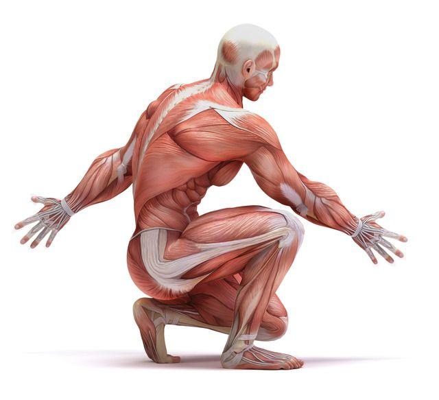 Факты о мышечной системе, которую вы не знали