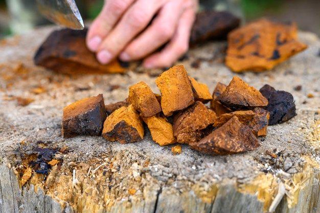 Преимущества гриба чага: 10 самых важных фактов о Чаге