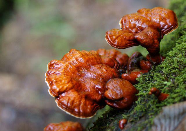 Рейши гриб: 6 преимуществ и применений
