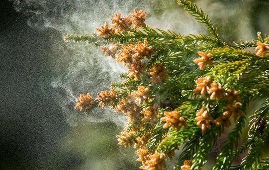 Основные преимущества пыльцы сосны для здоровья